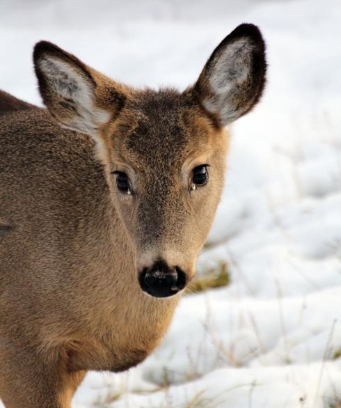 deer-084-copy